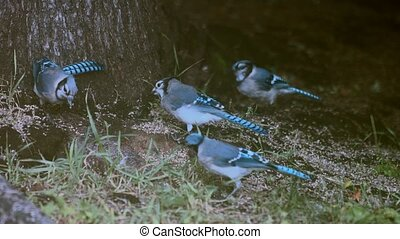 colony of blue jays eating - 4k clip of a colony of blue...