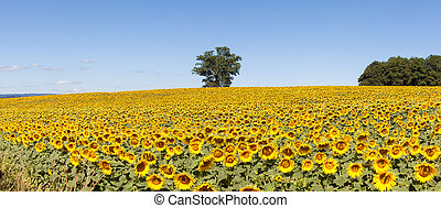 Sunflower panorama, Creuse, France - Stitched panorama...