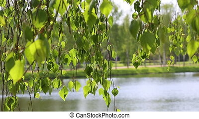 birch tree river lake natural background forest