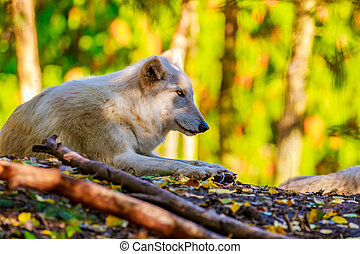 Gray Wolf - Gray wolf rests in the woods, of Woodland Park...