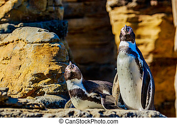 Humboldt Penguins - Two Humboldt Penguins accompany each...