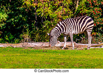 Plains Zebra - A plains zebra grazes on the meadow.