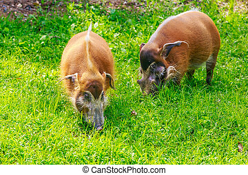 Red River Hog - Two red river hogs graze on the meadow.