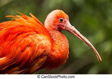 Portrait of Scarlet Ibis (Eudocimus ruber)