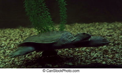 Chinese softshell turtle Beautifully decorated Marine...