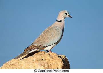 Cape turtle dove (Streptopelia capicola) perched on a rock,...