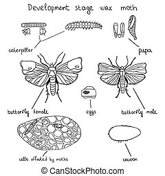 Development stage wax moth - Illustration showing the...