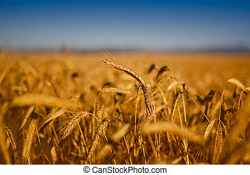 Wheat field - Beautiful landscape image of a wheat field