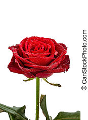 red rose. signs of love - a red rose against white...