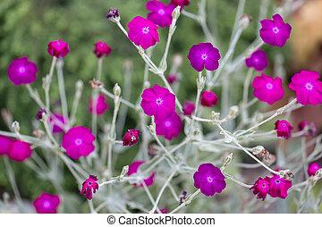 Arriate, con, rosa, campion, (Lychnis, coronaria),