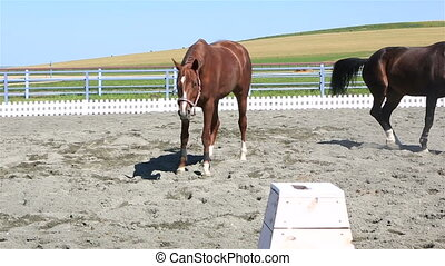 Polish mongrel breed lying in sand and Trakehner horse runs...