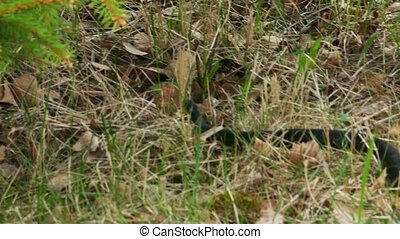 Black Viper Vipera Berus Poisonous Snake in a Grass - Black...