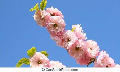 Blossom pink sakura