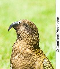 Kea - Nestor Notabilis, Kea is an endemic mountain parrot in...
