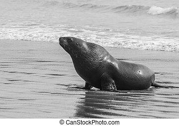 Sea Lion - Adult New Zealand sea lion Phocarctos hookeri on...