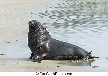 Sea Lion - Adult New Zealand sea lion Phocarctos hookeri on...