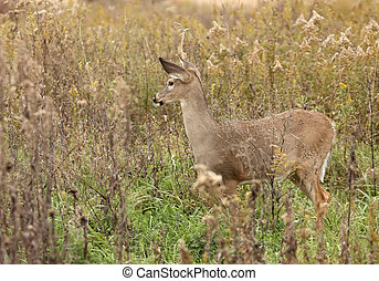 White-tail Deer - Female white-tail deer standing in tall...
