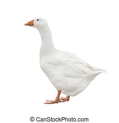 White Goose - Domestic white goose isolated on a white...