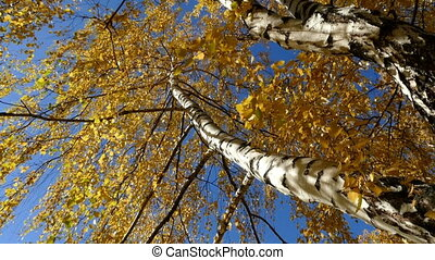 birch against the sky at an angle in the fall