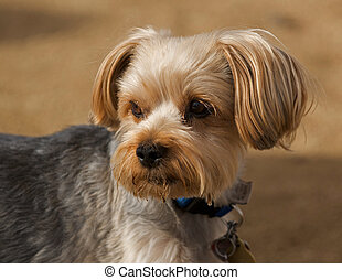 A Lhasa Apso looks over his shoulder - Alert and aware of...