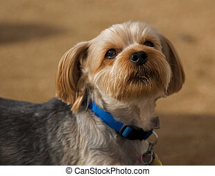 Curious Lhasa Apso - This little guy is trying to determine...