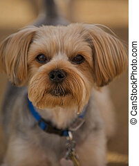 Lhasa Apso Portrait - A small, well groomed Lhasa Apso looks...