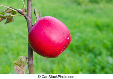 Apple - Red apple on a branch in a garden with fresh green...