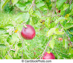 Apple - Starkrimson apples hanging in a tree with fresh...