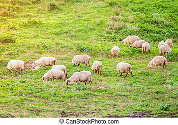 Sheep - Flock of sheep on a green pasture wuggesting organic...