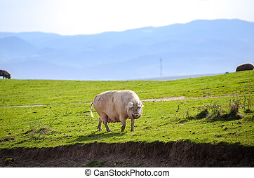 Pig in the wild - White fat pig on a green dirty hill at a...