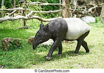 malayan tapir in the zoo