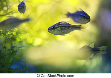Cardinalfish or Apogonichthyoides niger fish - Cardinalfish...