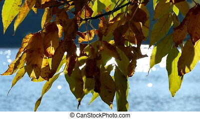 Yellow leaves in autumn on a background of water