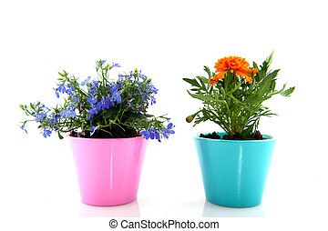 Blue Lobelia and orange Tagetes in colorful flower pots