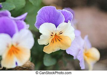 Mix color pansy flower. - Mix color pansy flower in Japan...