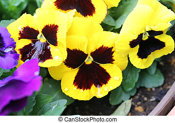 Yellow pansy flower - Yellow pansy flower in Japan garden