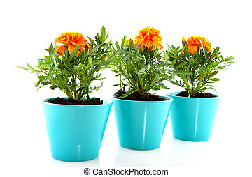 Orange Tagetes in blue flower pots isolated over white