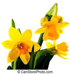 Yellow daffodils in spring isolated over white