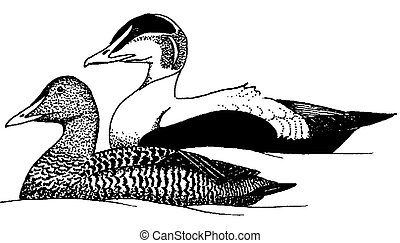 Common Eider - Somateria mollissima - pair