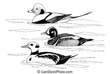 Long-tailed and Harlequin Duck, Stellers Eider - Long-tailed...