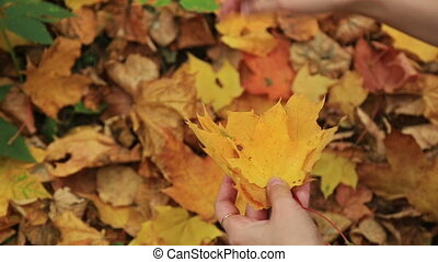 Woman collects fallen autumn maple leaves. - Woman collects...