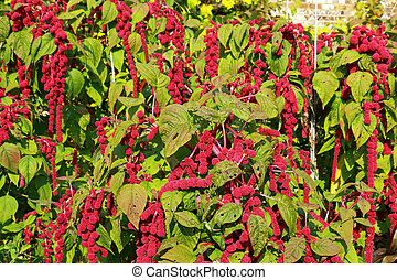 Amaranthus Caudatus - Love lies bleeding - A beautiful...