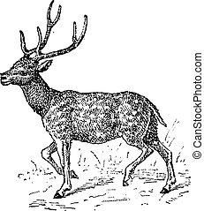 Axis deer, vintage engraving. - Axis deer, vintage engraved...