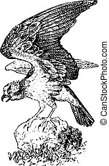 Osprey, vintage engraving. - Osprey, vintage engraved...
