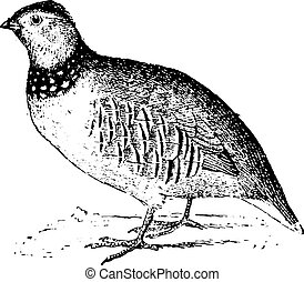 Rock partridge, vintage engraving - Rock partridge, vintage...