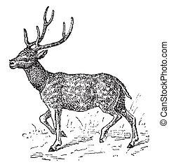 Axis deer, vintage engraving - Axis deer, vintage engraved...