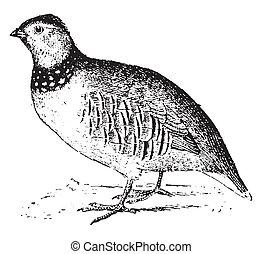 Rock partridge, vintage engraving. - Rock partridge, vintage...