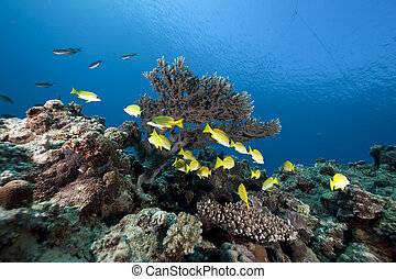 blue-striped snappers and ocean