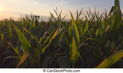 Sunrise at cultivated corn field, new beginning