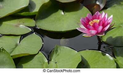 Lotus lily flower close up - Garden water pond with moving...